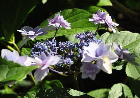 kleine soort hortensia