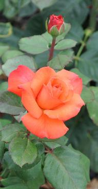 Rosa 'Christopher Colombus' Meilland TH