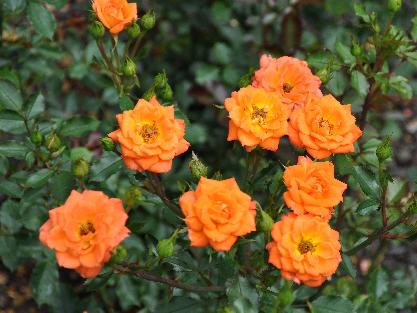 Rosa 'Shine On' Dicksonnurseries Miniatuurroos